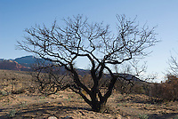 Burned desert scrub oak, Quercus turbinella. Red Rock Canyon National Conservation Area, Nevada