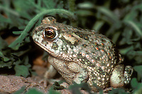 480150015 a wild texas toad bufo speciosus sits among green plants on a ranch in the rio grande valley of south texas