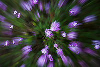 Abstract image of bush with purple flowers at the entrance to the Japanese Garden.