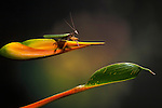 Praying Mantis on a Heliconia flower, Costa Rica