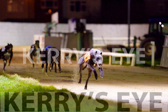 NewInn Blake, won heat 2 of the Juvenile Classic last Friday night at Kingdom Greyhound Stadium, Tralee.