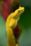 Eyelash Viper Snake, Bothriechis schlegelii, modified scales over the eyes that look much like eyelashes Costa Rica, arboreal, prehensile tail, nocturnal, yellow colouring, on red helicona, jungle, portrait.Central America....