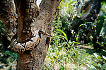 Royal Python, Python regius, curled around tree trunk, wide angle showing forest, West Africa.Gambia....