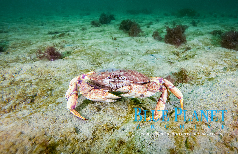 Atlantic Rock Crab, Cancer irroratus, Rockport, Massachusetts, USA, Atlantic Ocean