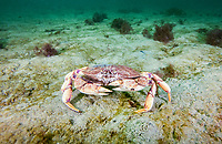 Atlantic Rock Crab, Cancer irroratus, Rockport, Massachusetts, USA, Atlantic Ocean