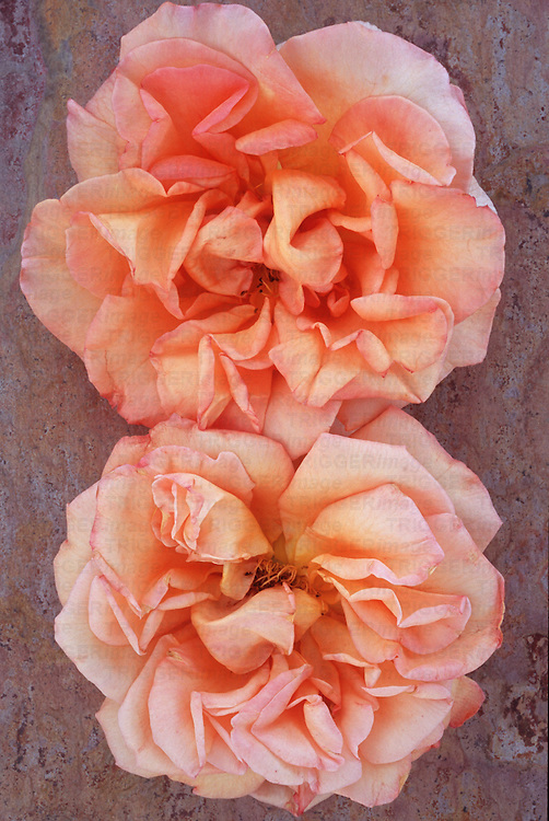 Two pale orange and cream and pink blooms of Rose or Rosa Sallys lying on marbled slate with pink tone