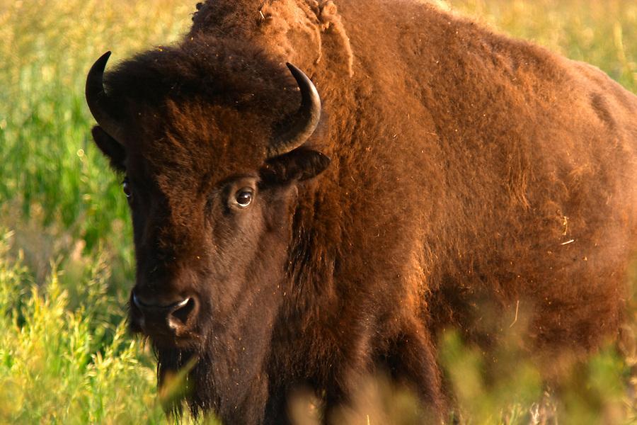 Female bison in prairie, Grand Teton National Park, Teton County, Wyoming, USA