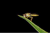 Long Hoverfly - Sphaerophoria scripta - female