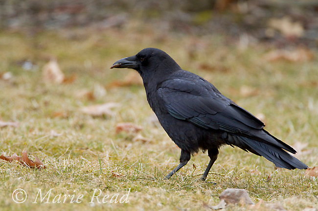 American Crow  (Corvus brachyrhynchos), on lawn, holding insect larva in bill, New York, USA