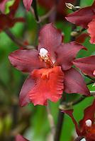 Wilsonara Red Pacific 'Deep Shadows' Orchid Hybrid, closeup detail of single solitary flower