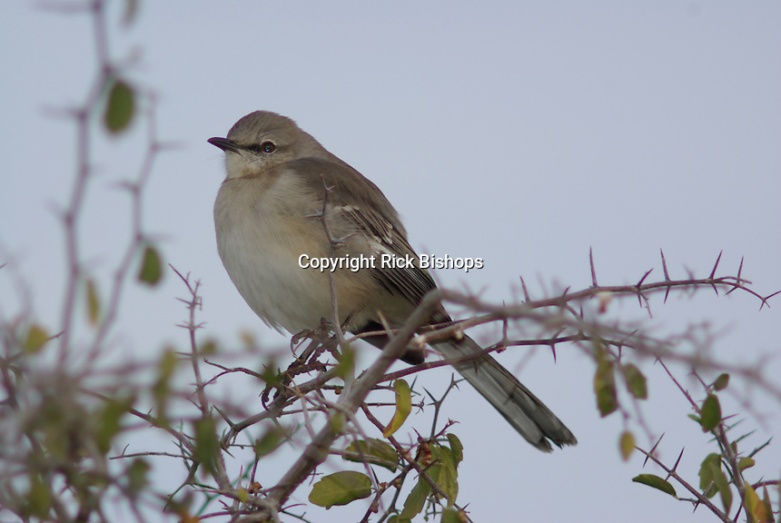 Northern Mockingbird seen on a winter day in southern Arizona.