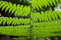 Close-up of rainforest fern.  Daintree National Park, Queensland, Australia
