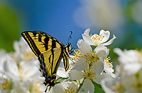 Western Tiger Swallowtail Butterfly (Papilio rutulus) nectaring on mock-orange flowers.  Pacific Northwest, summer.