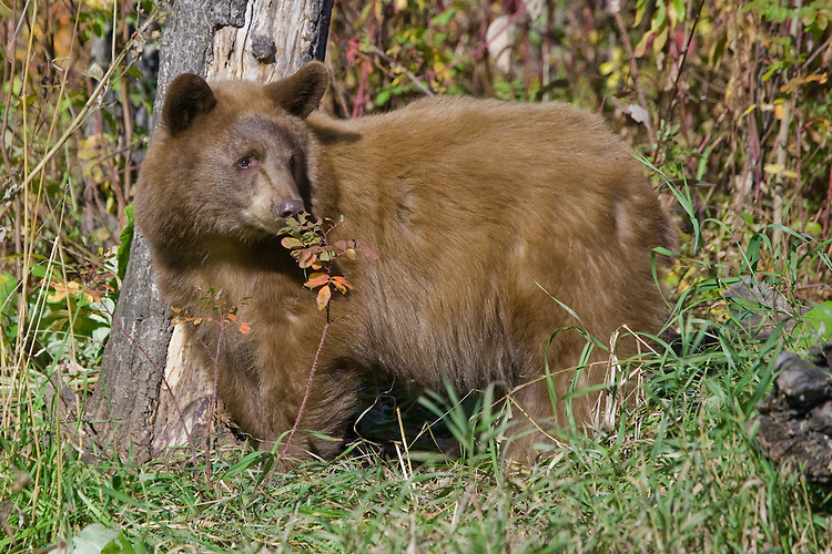 Young Cinnamon Black Bear pauses to smell the fall foliage