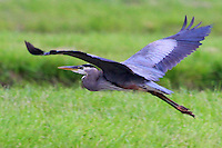 COURTESY PHOTO PHYLLIS KANE<br /> HATCHERY HERON<br /> A great blue heron takes flight at the Charlie Craig State Fish Hatchery in Centerton. Phyllis Kane of Fayetteville took the picture May 28. The hatchery is a popular spot for birding.
