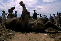 Pakistanis salvage what they can of a dead circus elephant after the circus left town outside Lahore, Pakistan.  4,800 years ago, at the same time as the early civilizations of Mesopotamia and Egypt, great cities arose along the flood plains of the Indus and Saraswati (Ghaggar-Hakra) rivers.  Developments at Harappa have pushed the dates back 200 years for this civilization, proving once and for all, that this civilization was not just an offshoot of Mesopotamia..They were a highly organized and very successful civilization.  They built some of the world's first planned cities, created one of the world's first written languages and thrived in an area twice as large as Egypt or Mesopotamia for 900 years (1500 settlements spread over 280,000 square miles on the subcontinent)..There are three major communities--Harappa, Mohenjo Daro, and Dholavira. The town of Harappa flourished during this period because of it's location at the convergence of several trade routes that spanned a 1040 KM swath from the northern mountains to the coast.