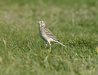 In spring and autumn, it is worth checking any flocks of migrant pipits and wagtails you come across for one of their rarer cousins, vagrants from Asia. Richard's Pipit Anthus richardi (L 17-20cm) is larger than a Meadow Pipit with a much longer tail and legs.