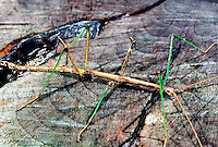 WALKING STICK<br /> Its Cryptic Coloration Mimics Twigs<br /> Diapheromera femorata. Can regenerate lost limbs. Eggs are randomly deposited and may take up to two winters before hatching. Feed on leaves of oak, locust, cherry and walnut trees. Young will molt 5 or 6 times before adulthood. Can grow to 12 inches.
