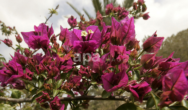 A flower is seen at a garden on April 13, 2011 in Rafah, southern Gaza Strip , as the sky is blue and sunny. Photo by Abed Rahim Khatib