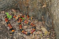 Texas Coral Snake (Micrurus tener), adult in leaf litter, Fennessey Ranch, Refugio, Corpus Christi, Coastal Bend, Texas Coast, USA
