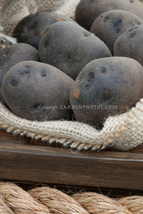Black Potatoes 'Swedish Black' Solanum with dark skins