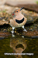 01193-013.06 Northern Flicker (Colaptes auratus) female at water, Marion Co. IL