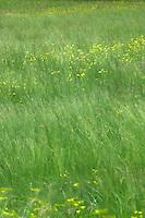 Spring flowers grass windswept,Imst district, Tyrol/Tirol, Austria, Alps.