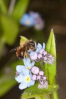 Rote Mauerbiene, Mauer-Biene, Männchen, Osmia rufa, Osmia bicornis, Blütenbesuch im Garten an Vergissmeinnicht, Nektarsuche, Bestäubung, red mason bee