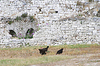 Black hen chicken picking for food. Berat upper citadel old walled city. Albania, Balkan, Europe.