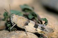 Kleine Ödlandschrecke, Weibchen, Oedipoda miniata miniata, grasshopper, female