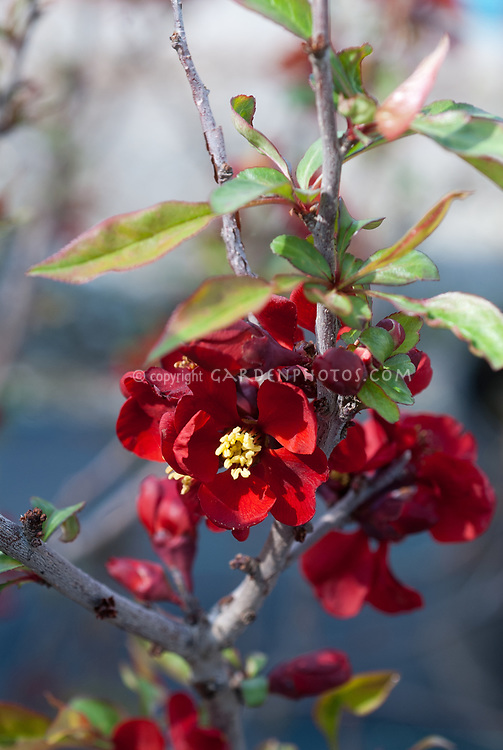 Chaenomeles japonica 'Blood Red', in spring bloom, 'Blood Red' flowering quince tree shrub bush