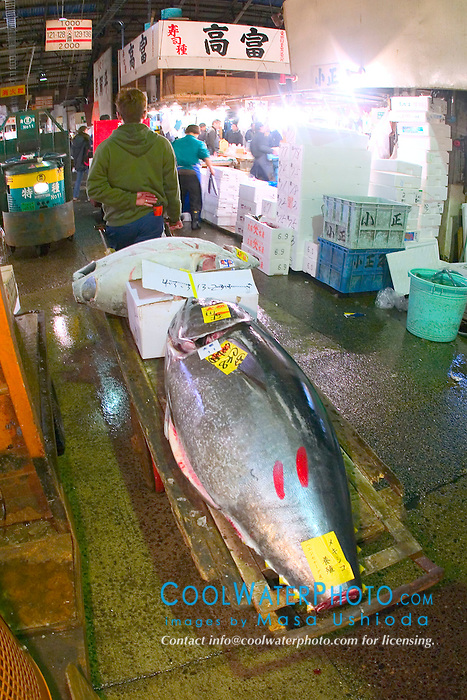 tunas, Thunnus sp., on cart, being transported to intermediate buyer's shop after auction, Tsukiji Fish Market or Tokyo Metropolitan Central Whalesale Market, the world's largest fish market  hadling over 2500 tons and over 400 different kind of fresh sea food per day