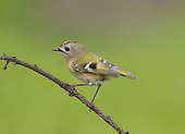Goldcrest Regulus regulus L 9cm. Our smallest bird. Recalls a Phylloscopus warbler but note large head and white-ringed dark eye and colourful crown stripe. Sexes are dissimilar. Adult has greenish upperparts with 2 pale wingbars, and yellow-buff underparts. Note black-bordered crown stripe (orange in male, yellow in female). Juvenile is similar but crown stripe is absent. Voice Utters a thin, high-pitched tsee-tsee-tsee. Song is a series of high-pitched phrases that ends in a flourish. Status Common woodland resident; favours conifers but also found in deciduous woods, especially in winter. Migrants from N Europe boost numbers outside breeding season.