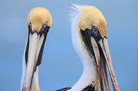 Adult Brown Pelican (Pelecanus occidentalis) in basic plumage. Yucatan, Mexico. February.