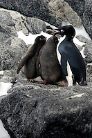 I want my snack too - Adelie penguins and chicks in their rookery at Boat Harbor