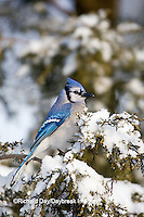 01288-05416 Blue Jay (Cyanocitta cristata) in Juniper tree (Juniperus chinensis 'Keteleeri') in winter, Marion Co., IL