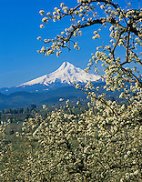Mount Hood from Hood River orchards, Oregon.  April.