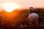 Atlantic Puffin (Fratercula arctica) at sunrise, Skomer Island National Nature Reserve, Skomer Island, Pembrokeshire, Wales, United Kingdom