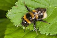 Gartenhummel, Garten-Hummel, Bombus hortorum, Megabombus hortorum, small garden bumble bee