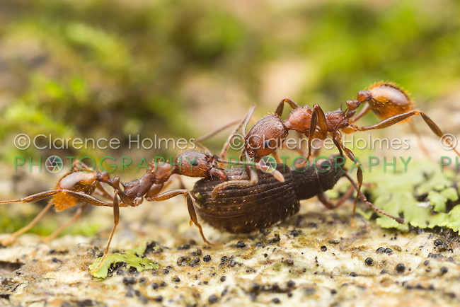 Spine-waisted Ant (Aphaenogaster fulva) workers carry scavenged food back to their nest .