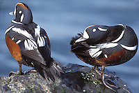 Harlequin Duck; Histrionicus histrionicus; two males;  NJ, Barnegat Light;