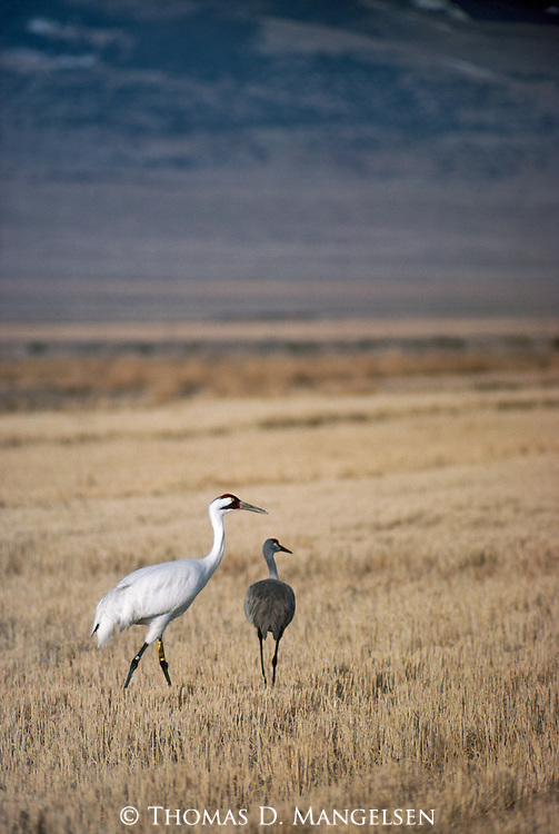 Whooping and sandhill cranes standing in a field in Monte Vista, Colorado