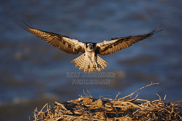 Osprey (Pandion haliaetus), adult landing on nest, Yellowstone River, Yellowstone National Park, Wyoming, USA