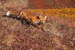 A red fox walks down a hillside in Denali National Park, Alaska.