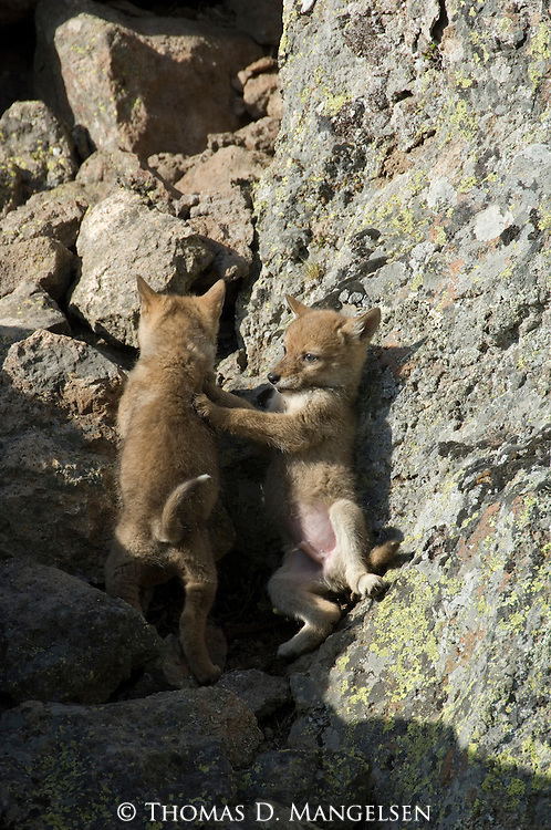 Two Coyote pups playing near their den in Yellowstone National Park.