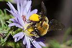 Long-horned Bee (Melissodes dentiventris) on Aster flower, Lexington Wildlife Management Area, Oklahoma, USA