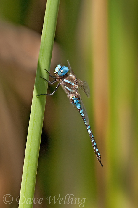339360020 a wild male blue-eyed darner rhionaeschna multicolor perches on a cattail frond along piru creek frenchman's flat los angeles county california