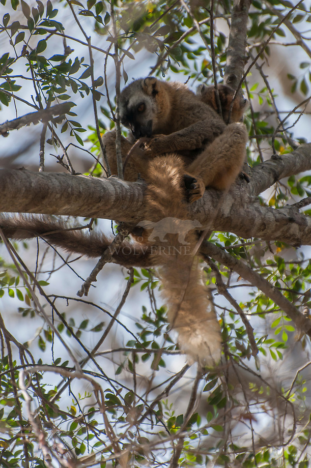 Red-fronted Brown lemur (Eulemer rufus)