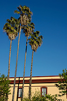 Date palms and building exterior on Menendez Pelayo Avenue, Seville, Andalusia, Spain.