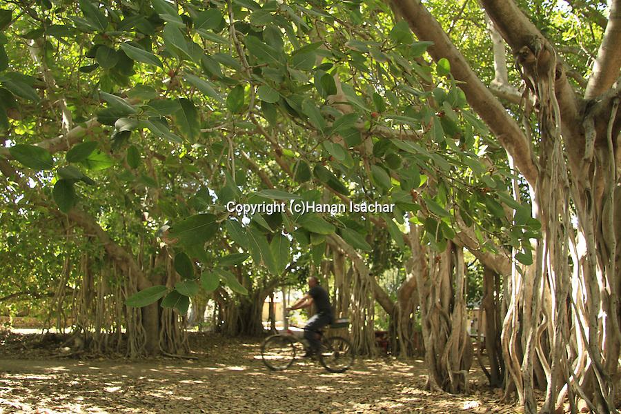 Israel, Beth Shean valley, Banyan (Ficus bengalensis) trees in Kibbutz Sde Eliyahu